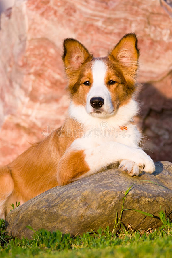 Retrato do filhote de cachorro novo do collie de beira no por do sol fotografia de stock royalty free