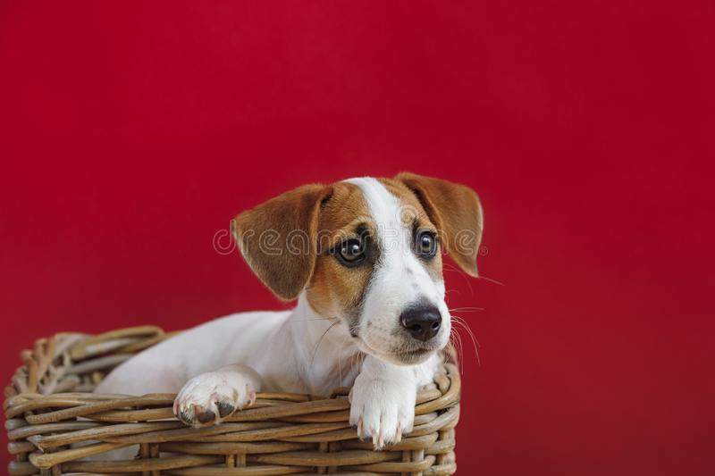 Retrato do filhote de cachorro do terrier de Jack Russell fotos de stock royalty free