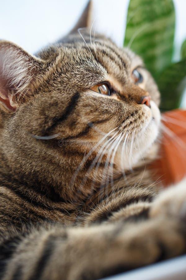 Retrato do fim britânico do gato acima Gato do puro-sangue foto de stock