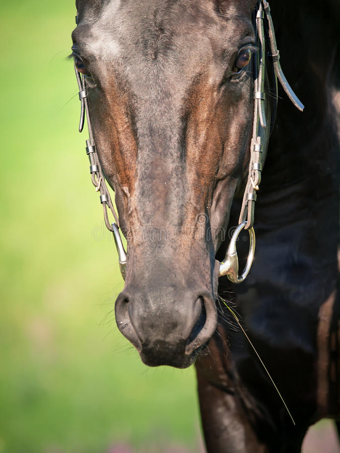 Retrato do fim sportive preto do cavalo acima imagens de stock