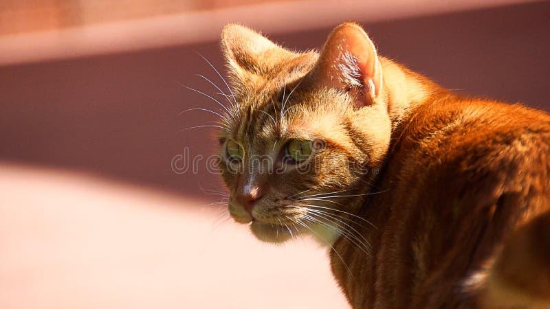 Retrato do fim vermelho doméstico bonito do gato acima no fundo cor-de-rosa imagem de stock royalty free