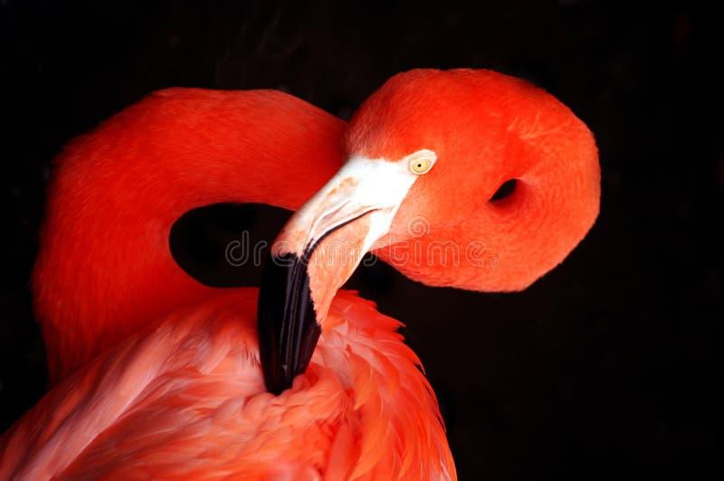 Retrato do flamingo imagens de stock