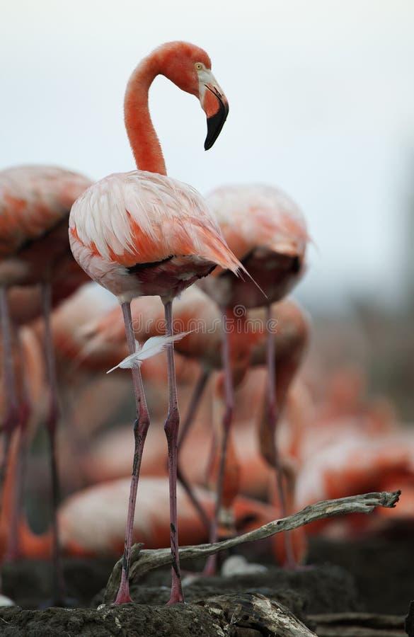 Retrato do flamingo americano. fotos de stock royalty free