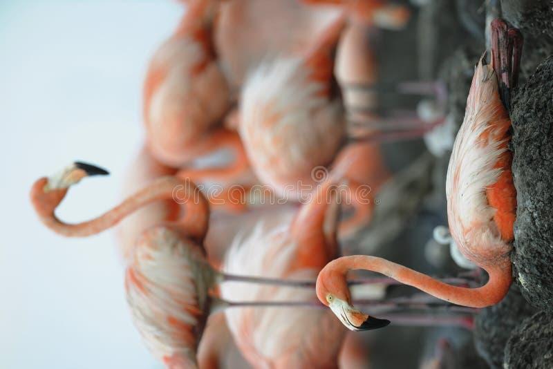 Retrato do flamingo americano. fotos de stock