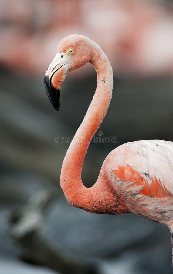 Retrato do flamingo americano. imagens de stock