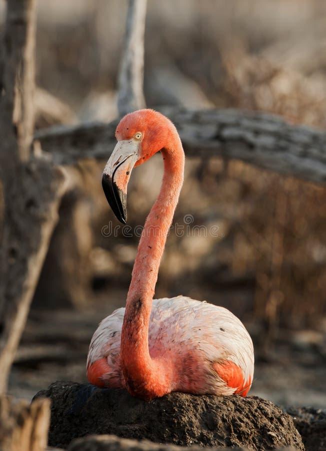 Retrato do flamingo americano. foto de stock