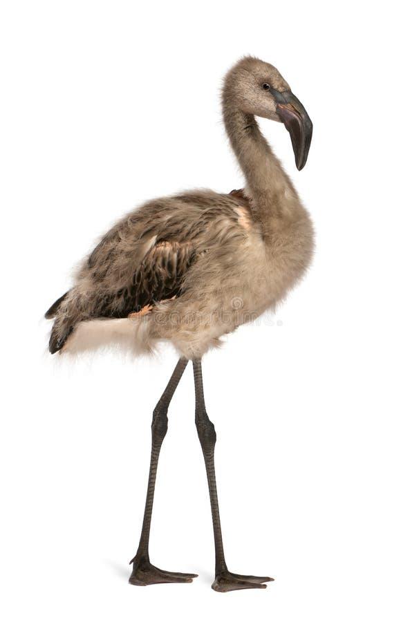 Retrato do flamingo chileno imagem de stock royalty free