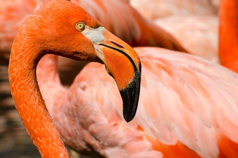 Retrato do flamingo cor-de-rosa imagens de stock