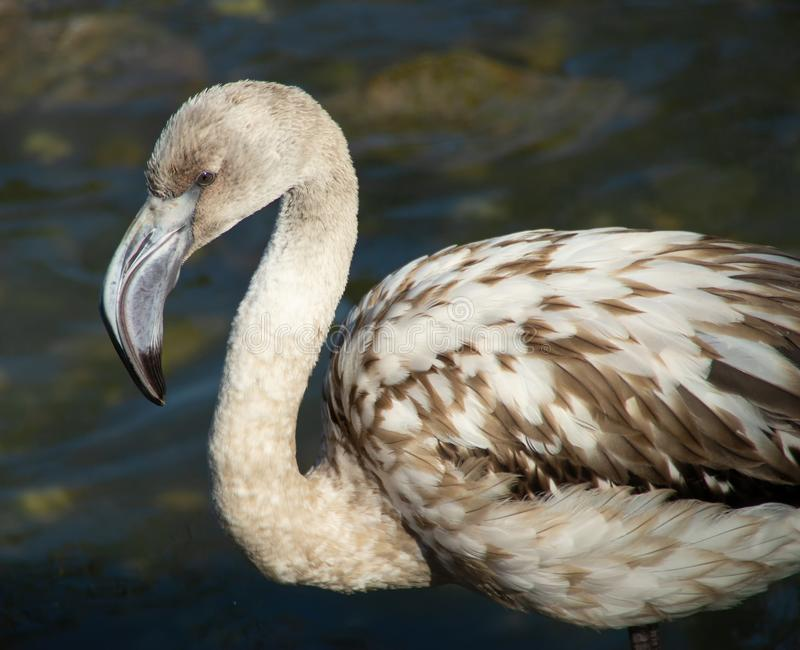 Retrato do flamingo novo fotografia de stock royalty free