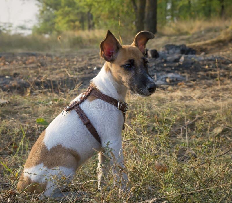 Retrato do Fox Terrier, cão novo na floresta do outono foto de stock royalty free
