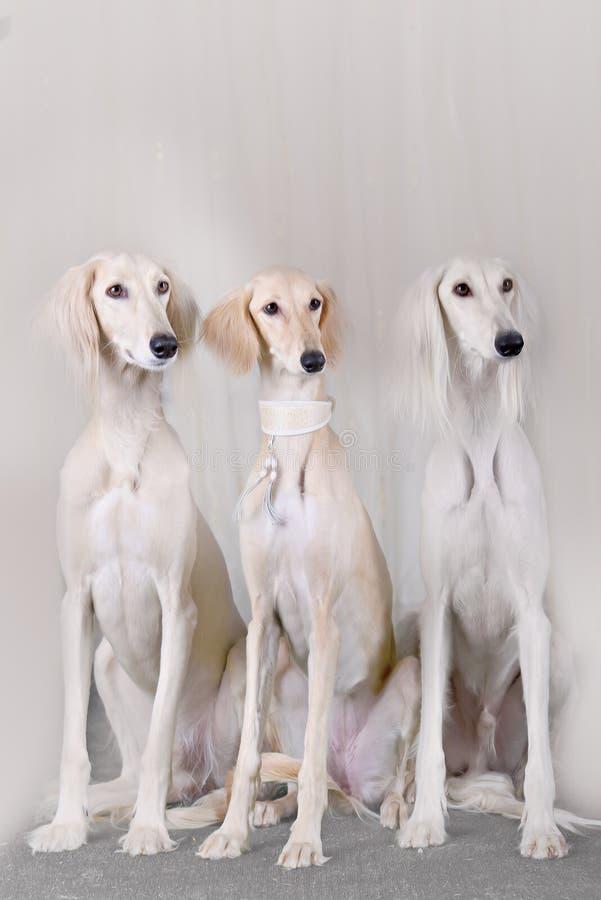 Retrato do galgo do persa de três raças do cão fotos de stock royalty free