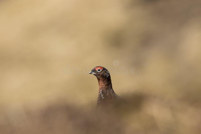 Retrato do galo silvestre vermelho, fim acima fotografia de stock