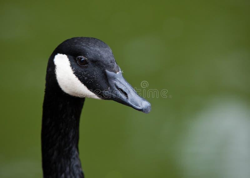 Retrato do ganso de Canadá. fotografia de stock royalty free