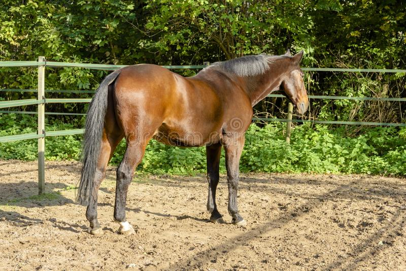 Retrato do garanhão da parte de trás de um cavalo de esboço marrom em um manege fotos de stock royalty free