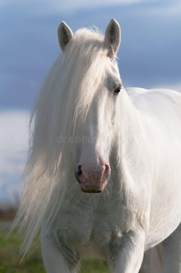 Retrato do garanhão do cavalo branco fotos de stock