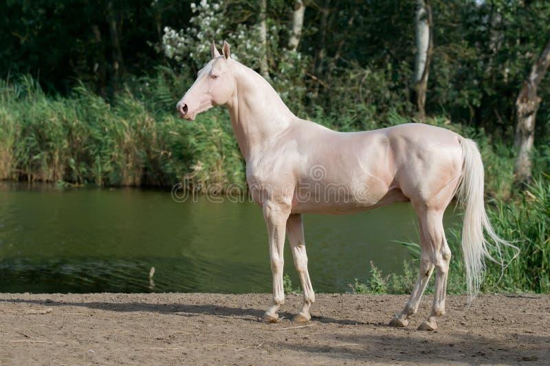 Retrato do garanhão do cavalo do akhal-teke de Cremello fotografia de stock
