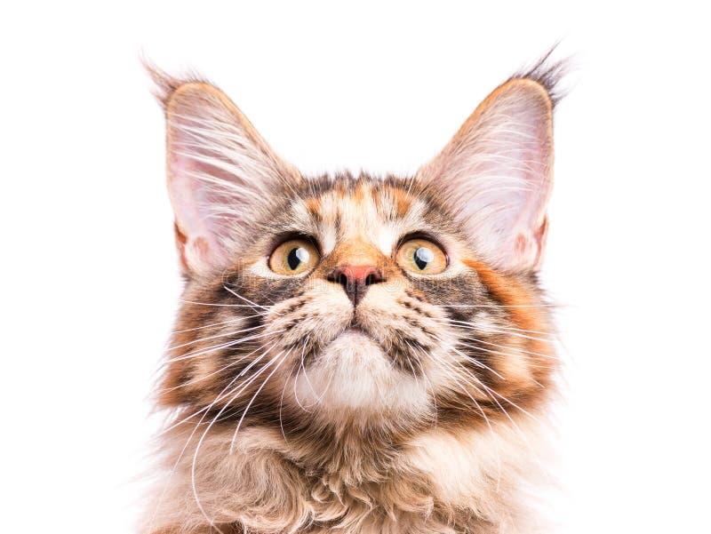 Retrato do gatinho do racum de Maine imagem de stock
