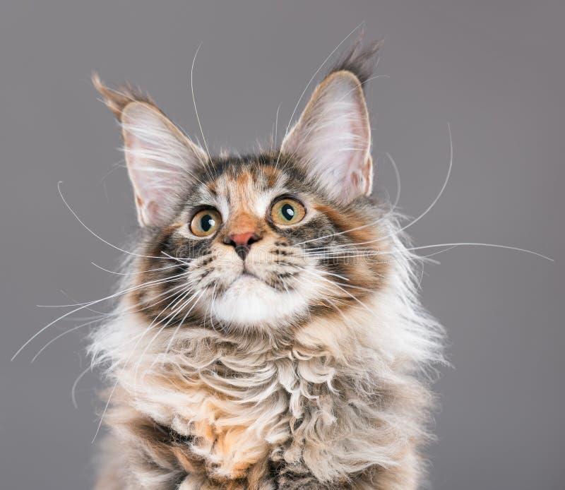 Retrato do gatinho do racum de Maine imagem de stock royalty free