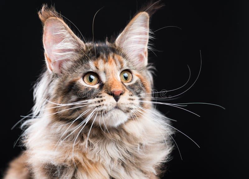 Retrato do gatinho do racum de Maine imagens de stock