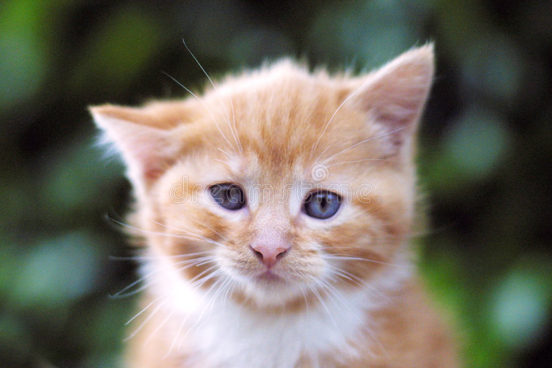 Retrato Do Gato Foto de Stock