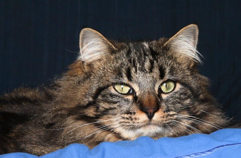 Download Retrato do gato foto de stock. Imagem de doméstico, macho - 12808894