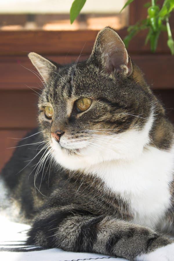 Retrato do gato fotografia de stock royalty free