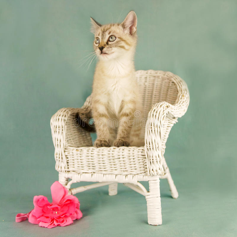 Retrato do gato foto de stock royalty free