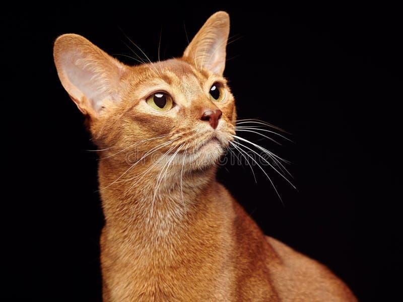 Retrato do gato abyssinian novo bonito imagem de stock royalty free