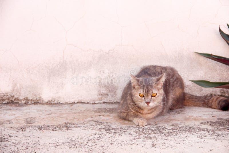 Retrato do gato bonito do único gato malhado cinzento que senta-se no fundo velho do muro de cimento e que olha a câmera foto de stock
