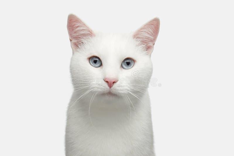 Retrato do gato branco no fundo isolado foto de stock royalty free