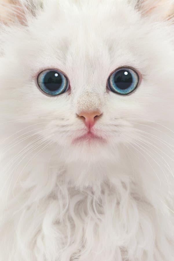 Retrato do gato branco novo fotografia de stock