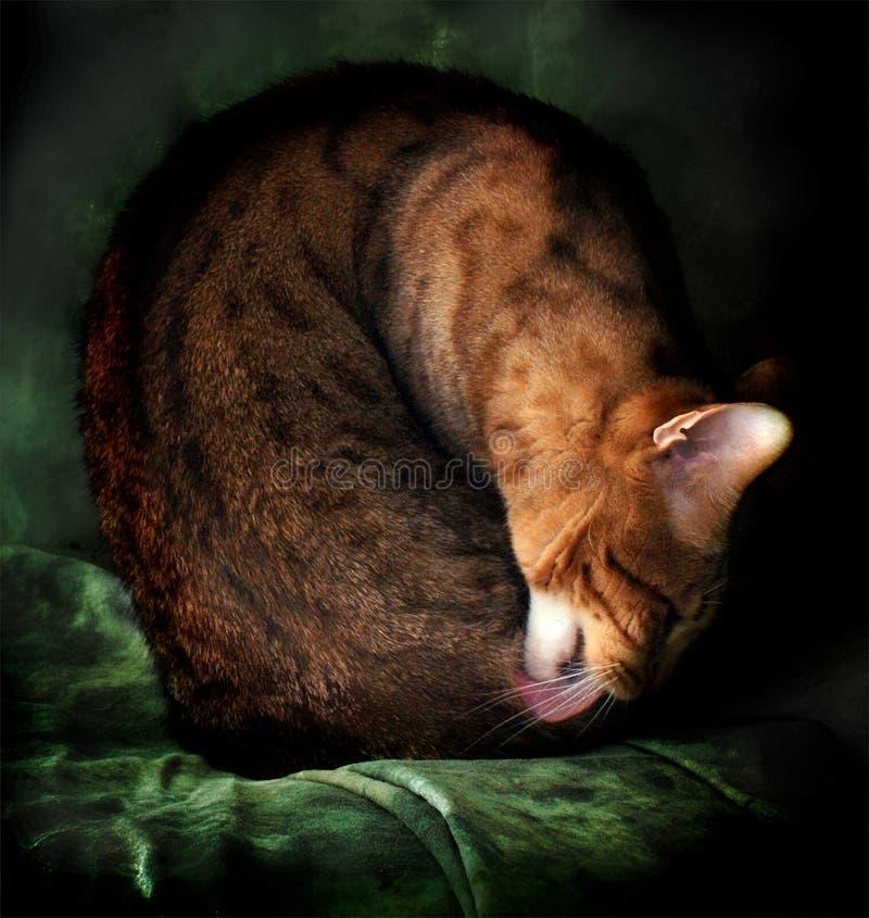 Retrato do gato de bengal da bela arte