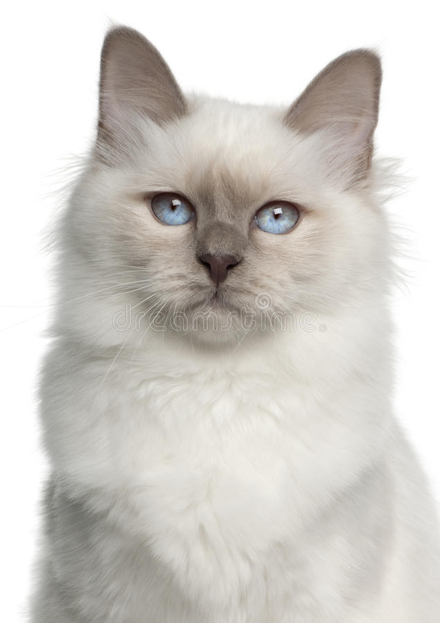 Retrato do gato de Birman, 5 meses velho fotografia de stock royalty free