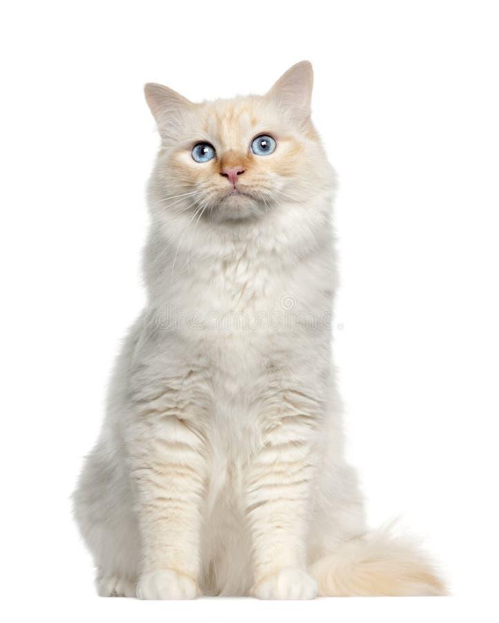 Retrato do gato de Birman, sentando-se fotos de stock royalty free