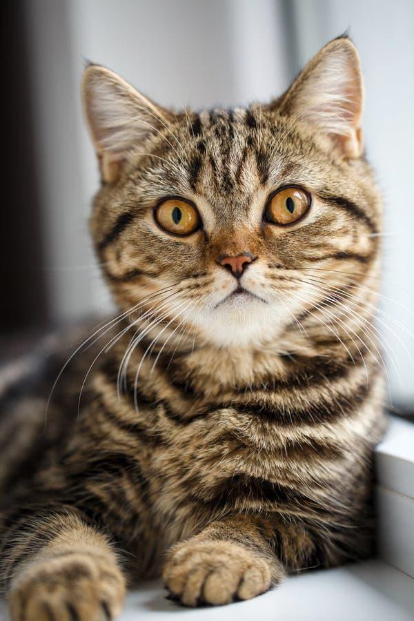 Retrato do gato de casa Gato muito sério próximo foto de stock royalty free