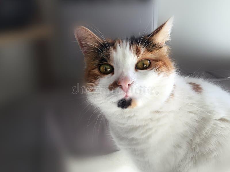 Retrato do gato de chita engraçado fotos de stock