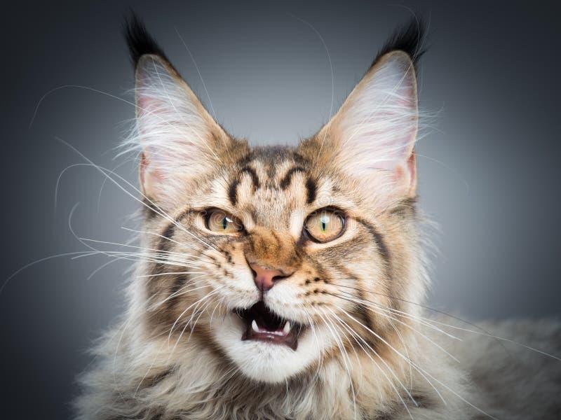 Retrato do gato de Coon de Maine imagens de stock royalty free