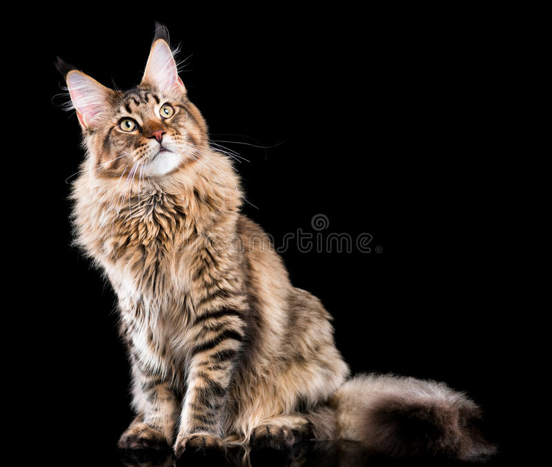 Retrato do gato de Coon de Maine fotografia de stock royalty free