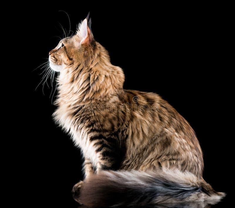 Retrato do gato de Coon de Maine fotografia de stock royalty free
