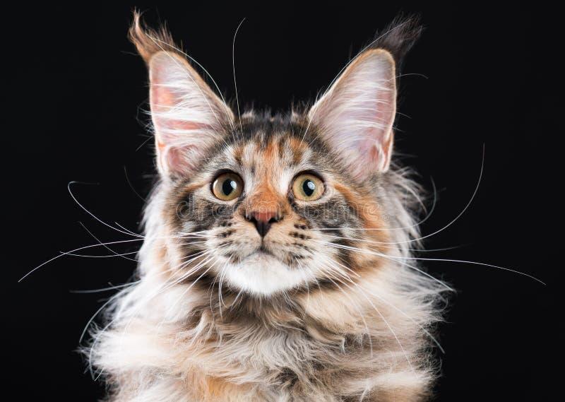 Retrato do gato de Coon de Maine imagens de stock