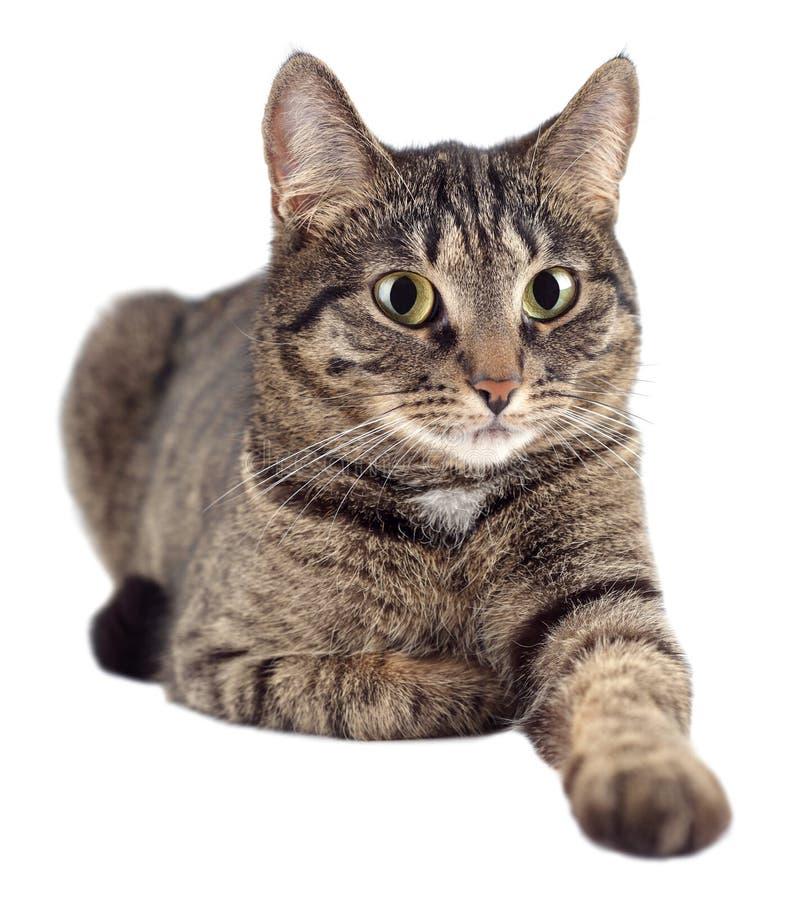 Retrato do gato de gato malhado isolado no fundo branco imagens de stock royalty free