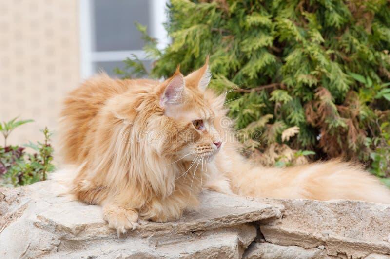 Retrato do gato de Maine Coon imagem de stock
