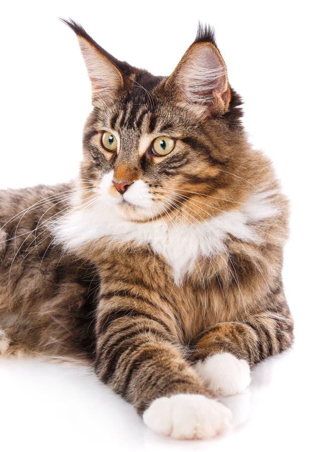 Retrato do gato de Maine Coon, 6 meses velho foto de stock royalty free