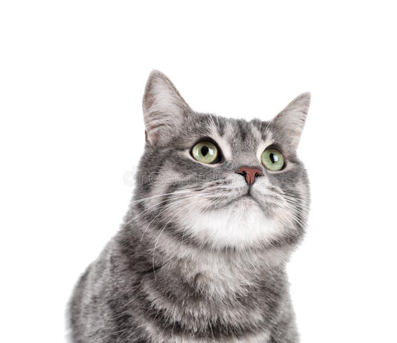 Retrato do gato de gato malhado cinzento no fundo branco fotografia de stock royalty free