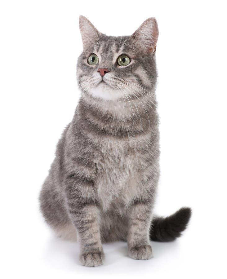 Retrato do gato de gato malhado cinzento no fundo branco imagens de stock