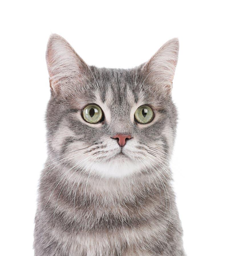 Retrato do gato de gato malhado cinzento no fundo branco imagem de stock