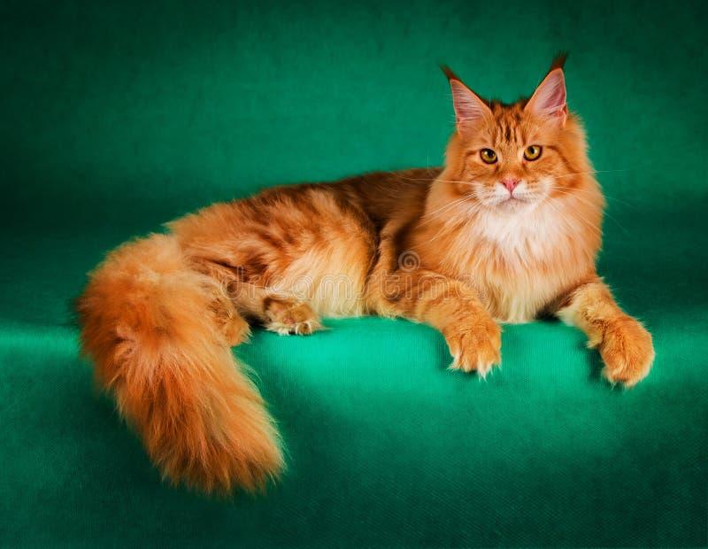 retrato do gato de racum vermelho de maine no fundo verde imagens de stock royalty free