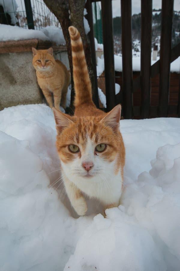 Retrato do gato dois na neve imagem de stock