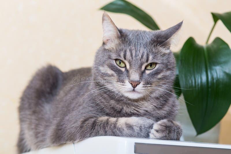 Retrato do gato doméstico cinzento imagem de stock