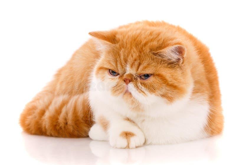 Retrato do gato exótico branco vermelho em um fundo branco imagem de stock royalty free